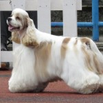 American Cocker Spaniel show dog