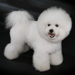 Bichon Frisé with Snow Cut