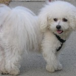 Bichon Frisé with Puppy Cut