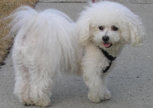 Bichon Frisé with Puppy Cut