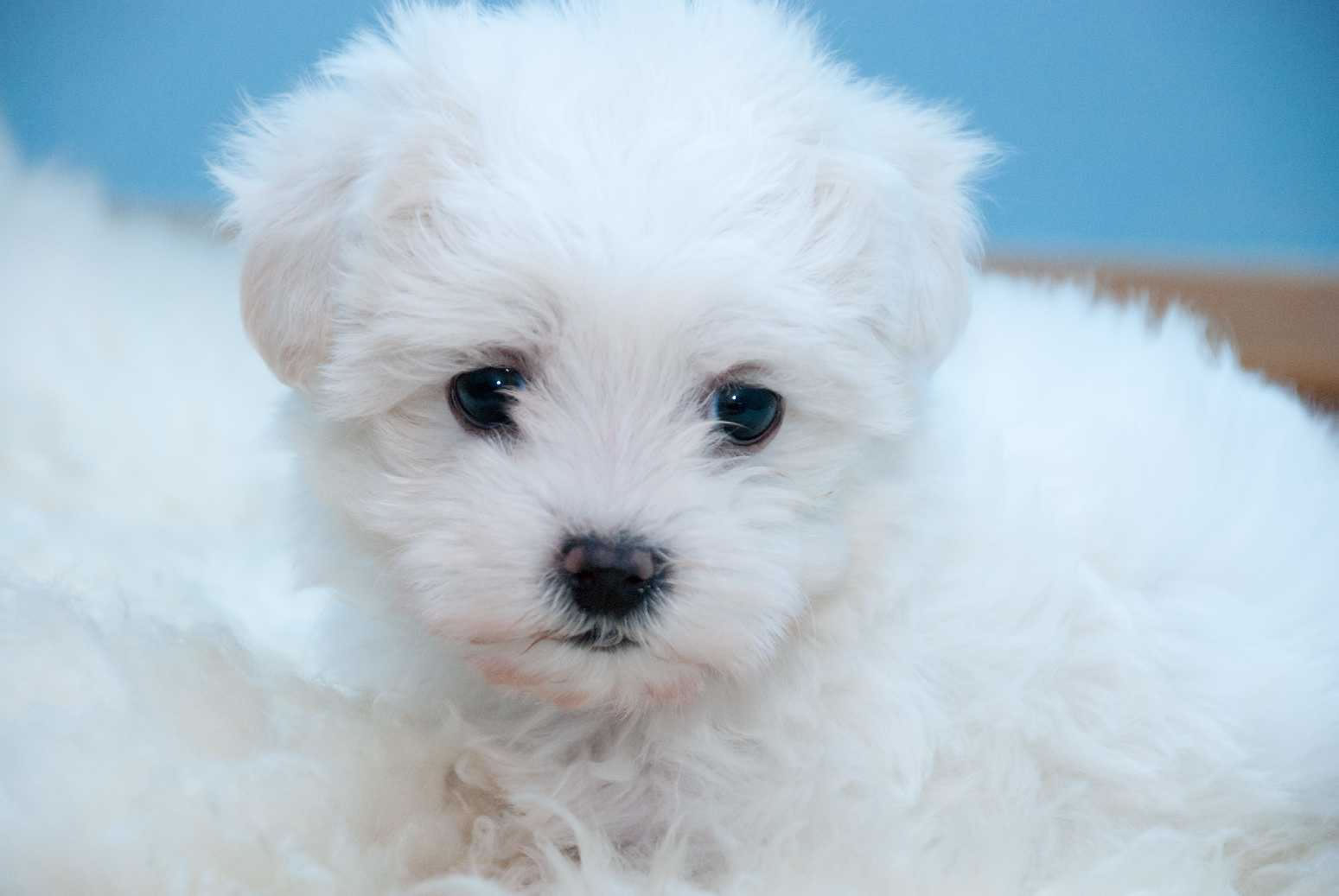 bichon frise The bichon frise poodle mix, also known as a bichpoo or a poochon, is a designer dog that's aimed at melding the best characteristics of the poodle.