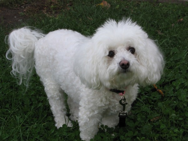 Bichon Frise with pet cut