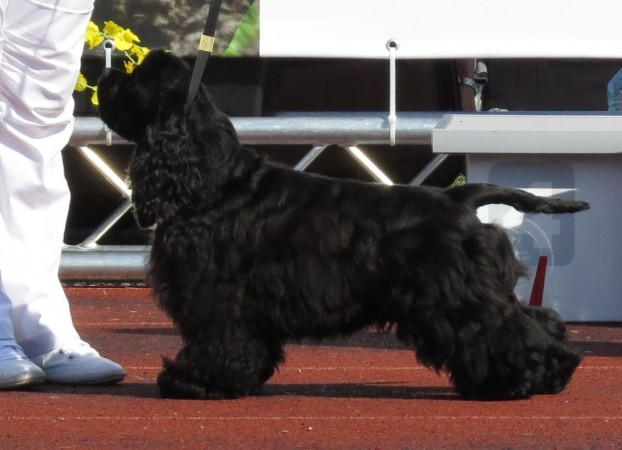 Black American Cocker Spaniel in show cut