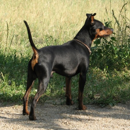 Black Miniature Pinscher with uncropped tail and ears