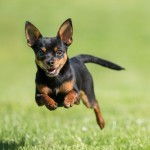 Black and tan Chihuahua running
