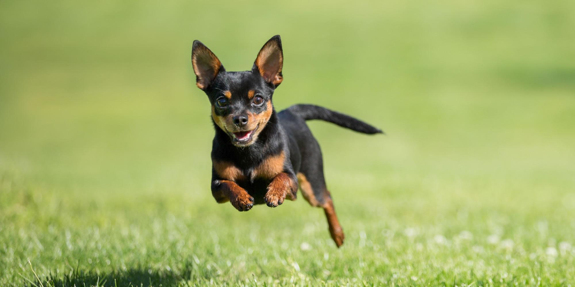 Chihuahua - My Doggy Rocks