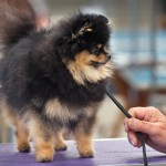 Black and tan Pomeranian show dog