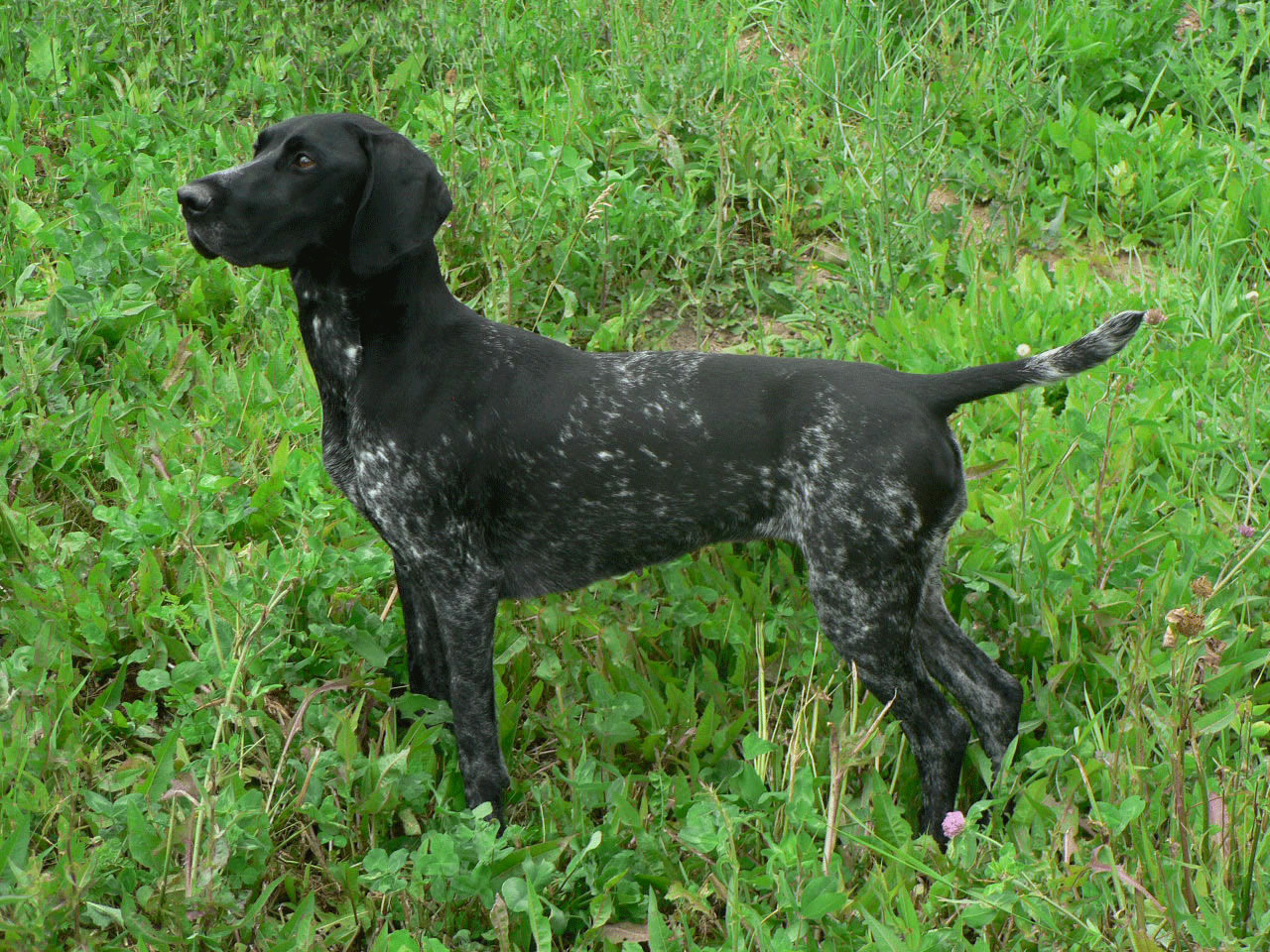 German Shorthaired Pointer - My Doggy Rocks
