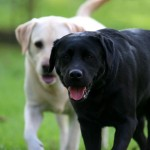 Black and yellow Labrador Retrievers