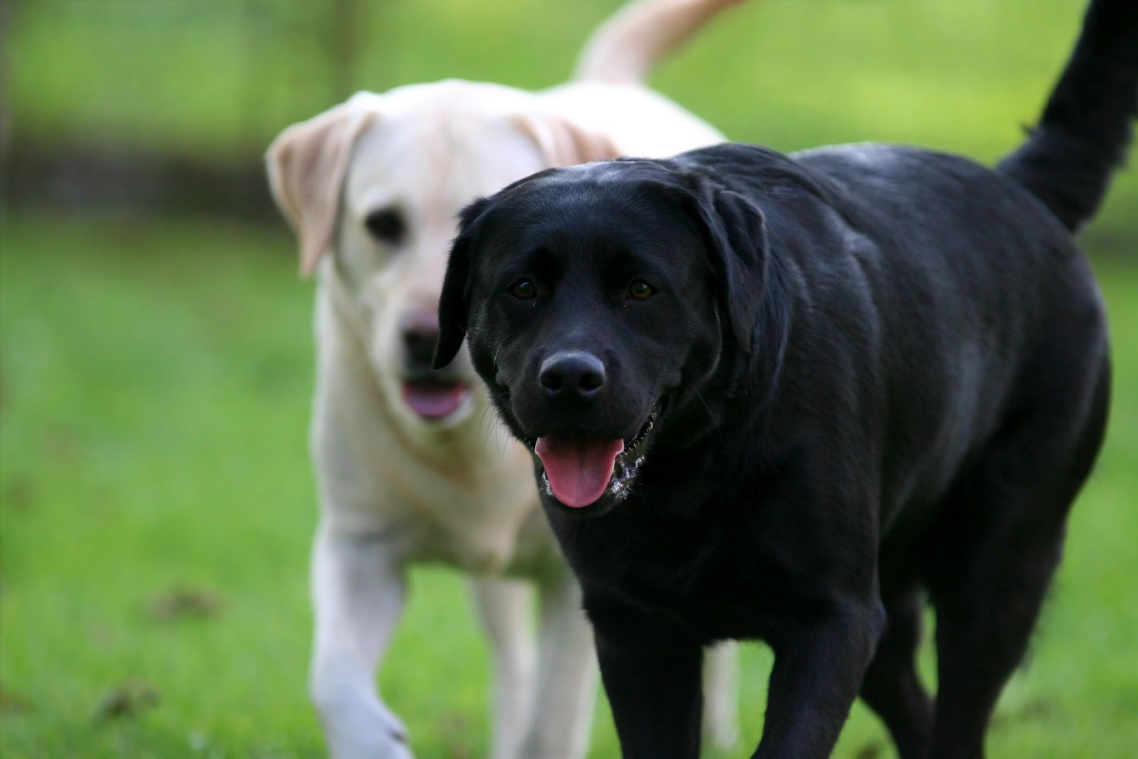 Pics photos yellow black labrador retrievers