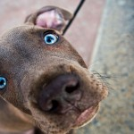 Blue eyed Weimaraner wallpaper