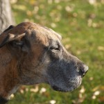 Brindle Great Dane head wallpaper