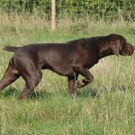 Brown GSP (German Shorthaired Pointer)