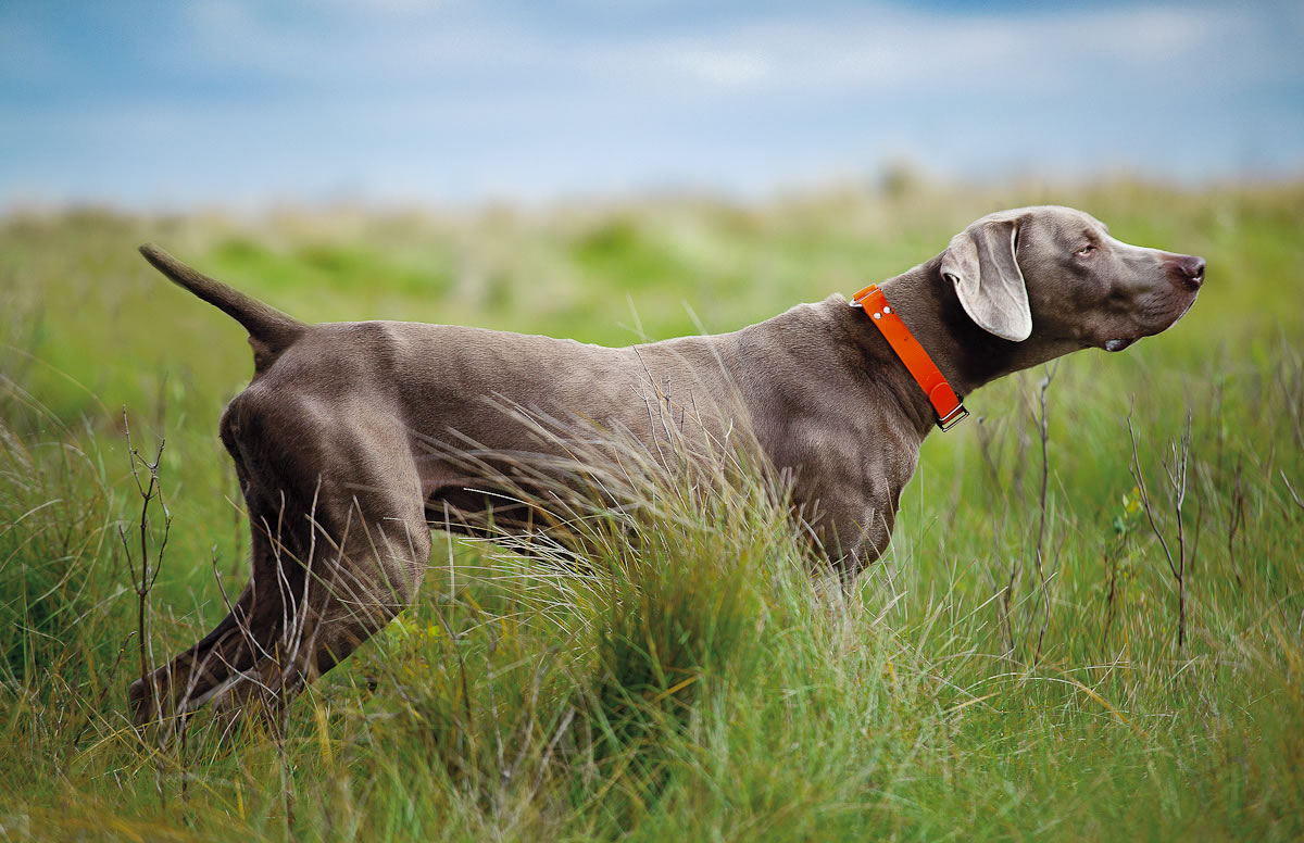 Brown Weimaraner - My Doggy Rocks