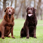 Brown and light brown Labs
