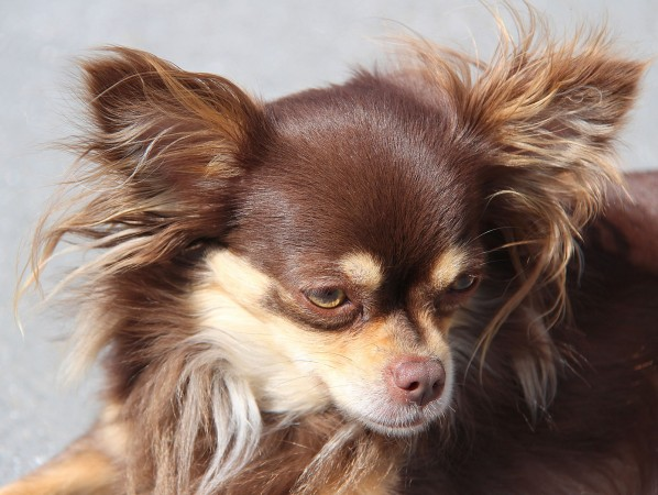 Brown long coated Chihuahua