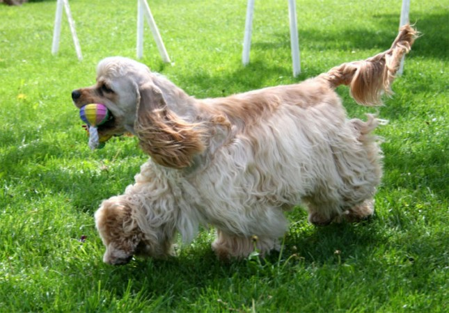 Buff colored American Cocker Spaniel