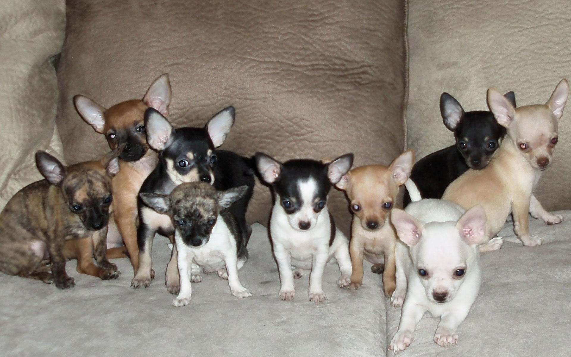 Chihuahua My Doggy Rocks