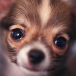 Chihuahua head wallpaper