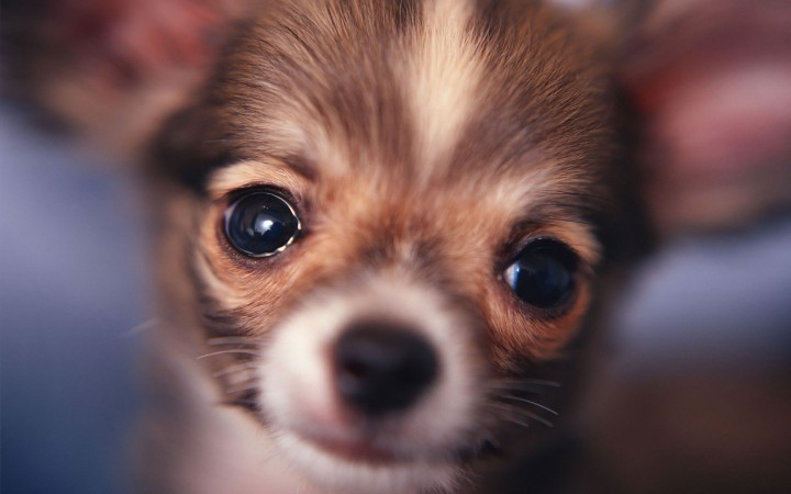 Chihuahua head wallpaper