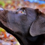 Chocolate Labrador Retriever head