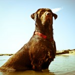Chocolate Labrador Retriever in water