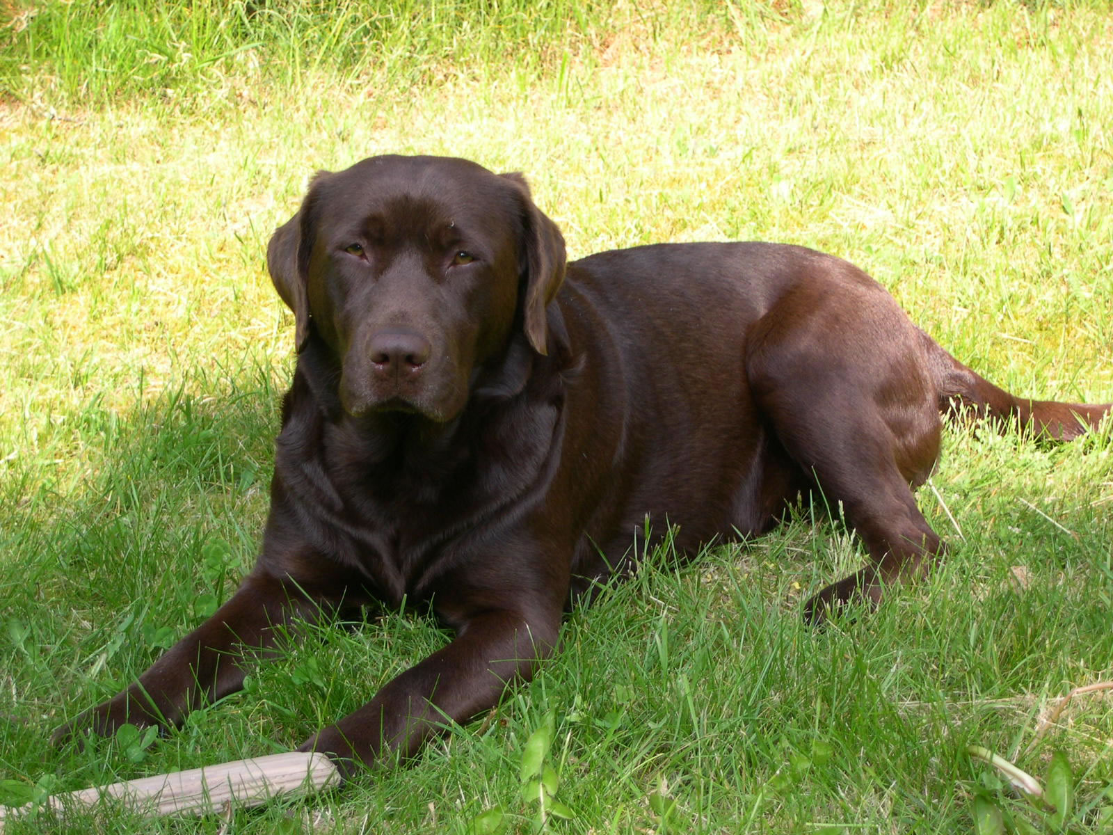 Pin Chocolate Labrador Retriever Graphics Code on Pinterest