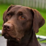 Chocolate Labrador head