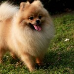 Cream Pomeranian wallpaper