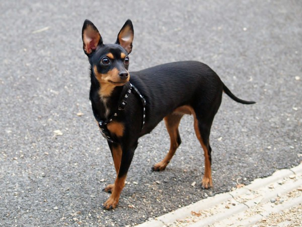 Cute Miniature Pinscher