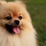 Cute Pomeranian wallpaper