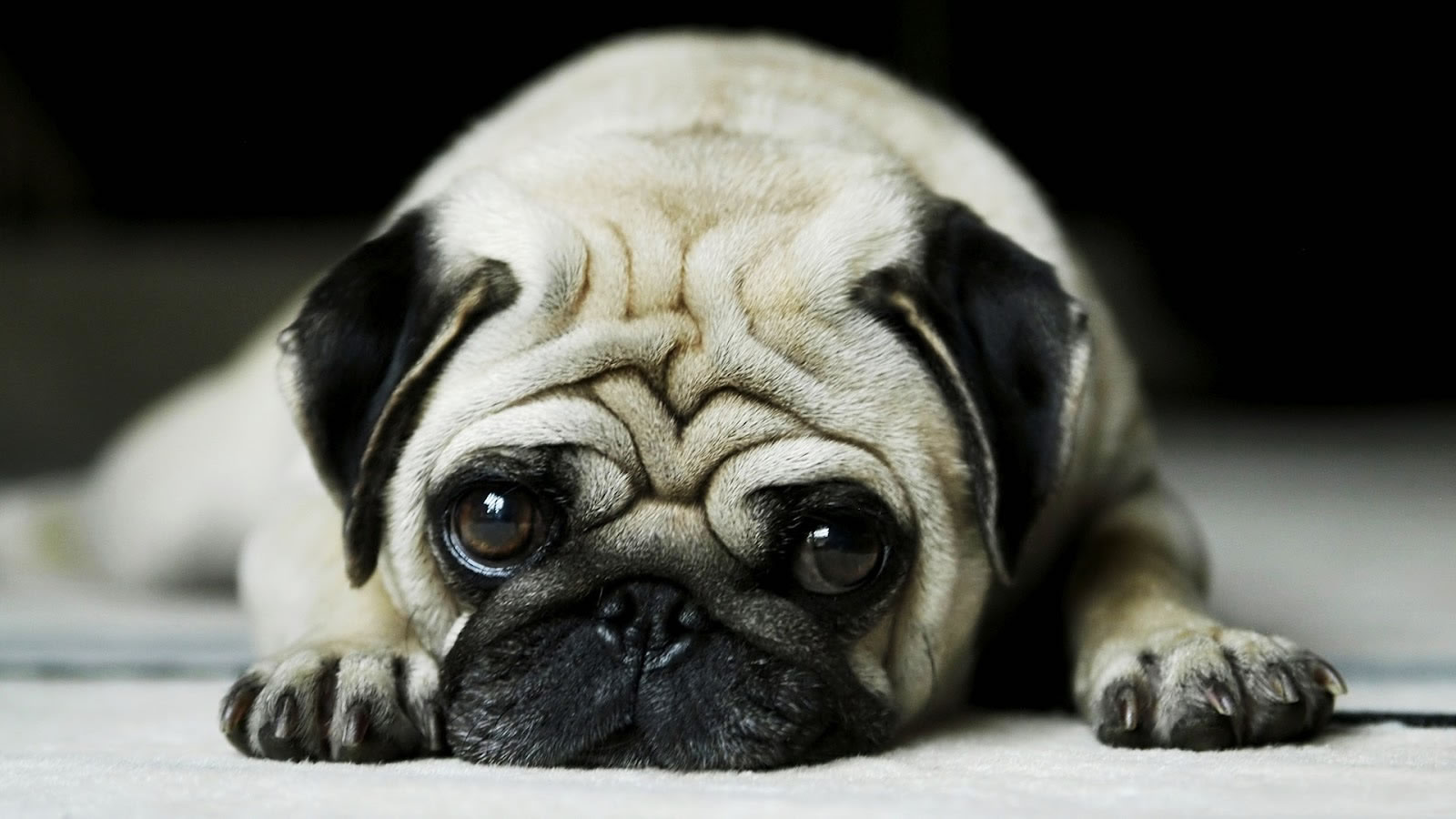 Black Pug Puppy Cute Wallpaper