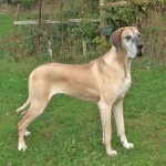Female fawn Great Dane