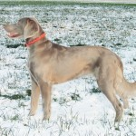 Female long coat Weimaraner