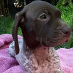 German Shorthaired Pointer puppy head