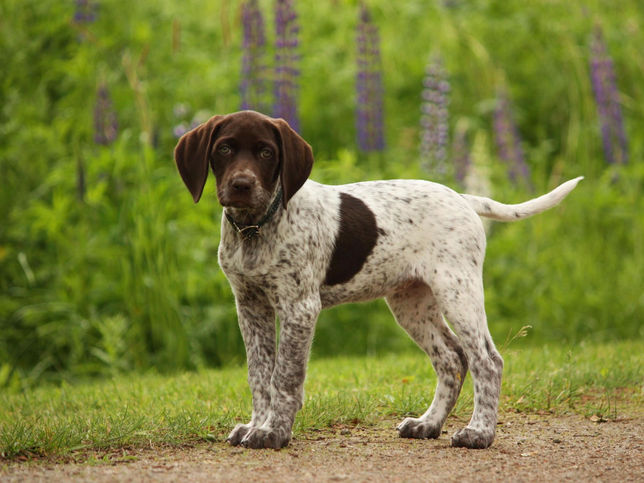 german short haired pointer - photo #3