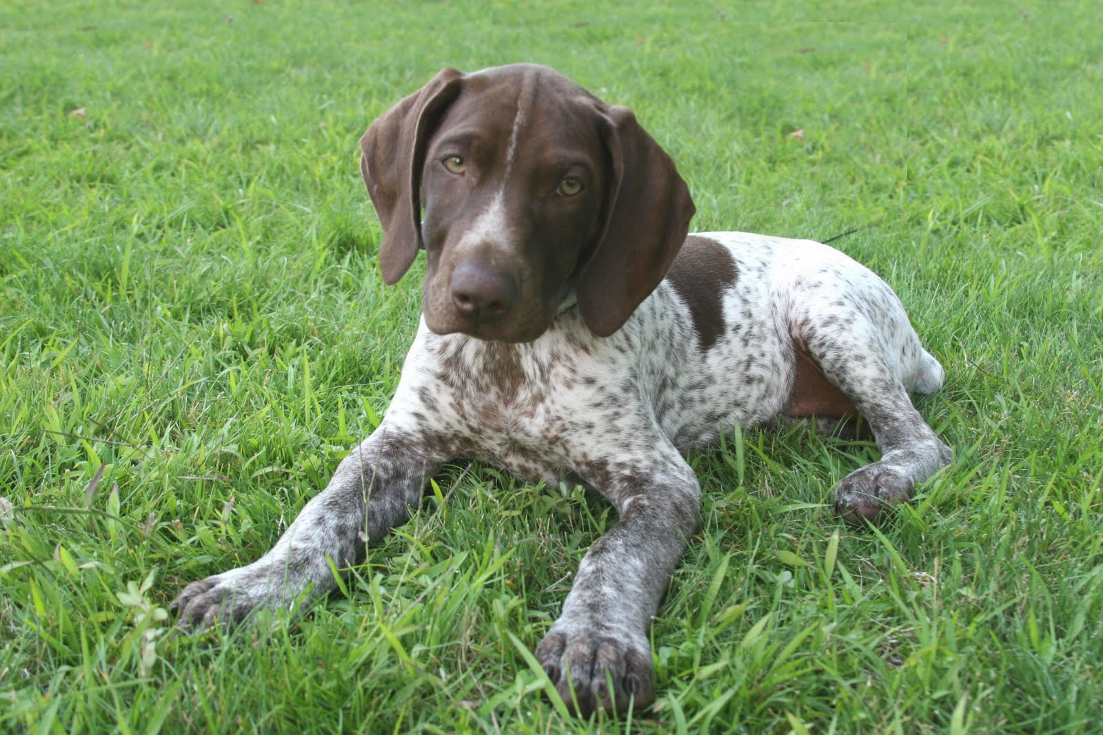 german short haired pointer - photo #4
