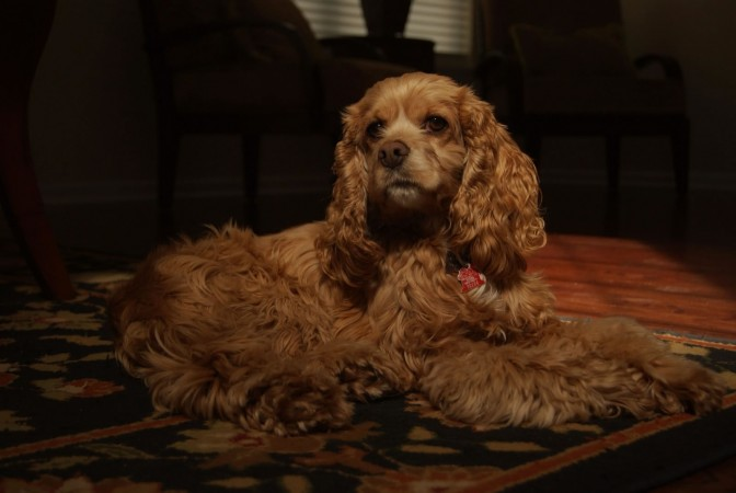 Golden American Cocker Spaniel dog