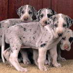 Great Dane puppies wallpaper