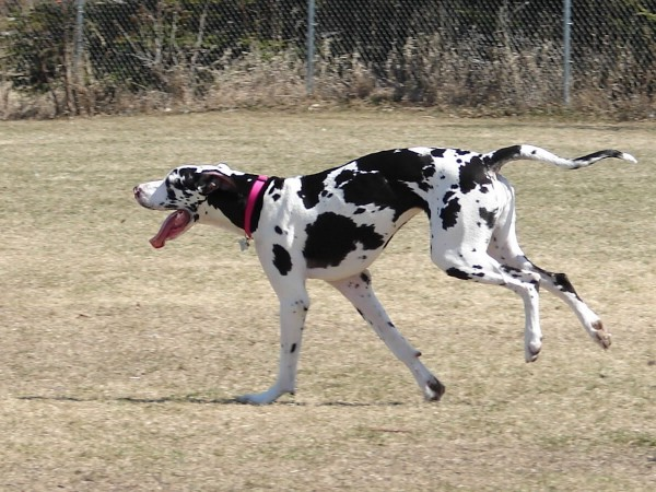 Great Dane running