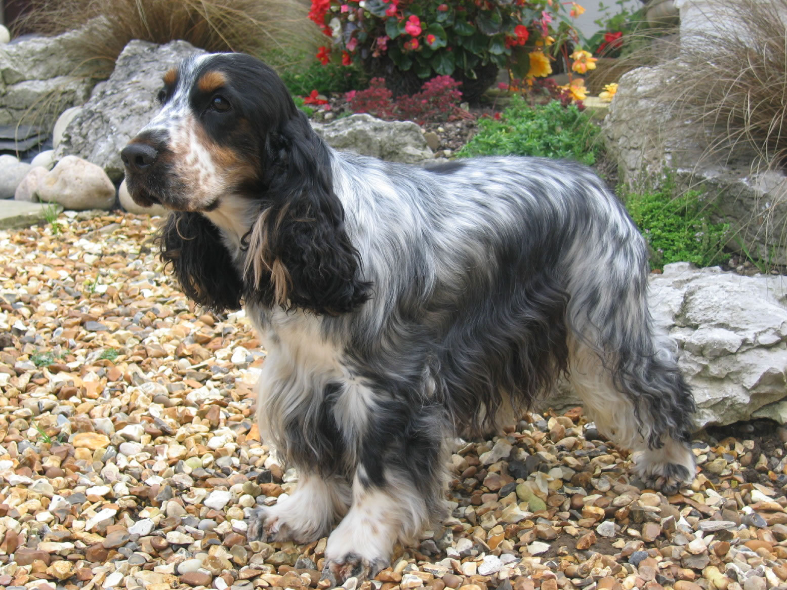 Quintavia Cocker Spaniels  Older Dogs
