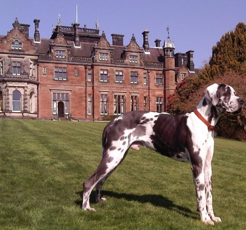 Harlequin Great Dane (2)