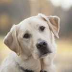 Labrador Retriever head wallpaper