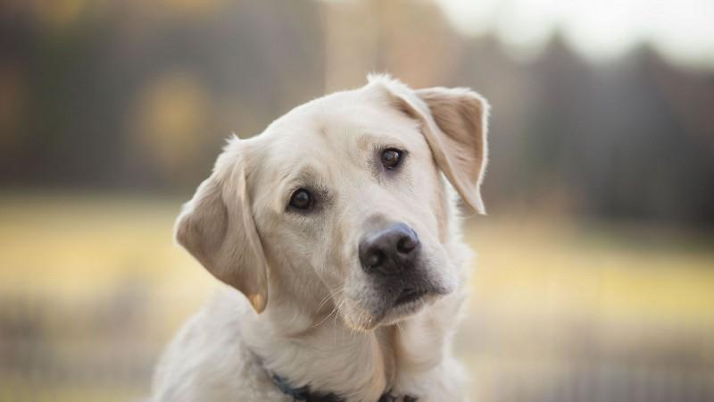 Labrador Retriever head wallpaper