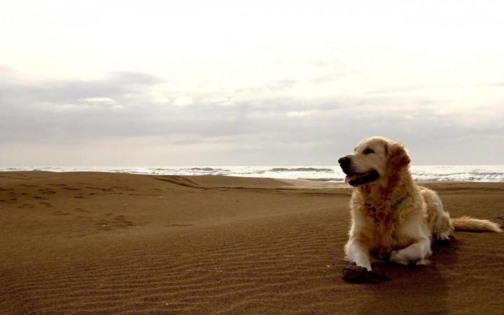 Labrador Retriever on beach wallpaper