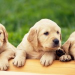Labrador Retriever puppies wallpaper