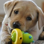 Labrador Retriever puppy playing