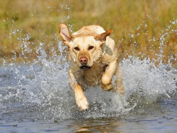 Labrador Retriever running
