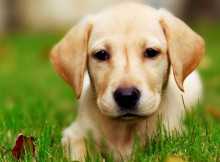 Labrador Retriever wallpaper