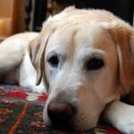 Labrador whitening